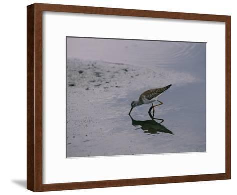 A Sandpiper Skims the Water for a Meal in the Meadowlands-Melissa Farlow-Framed Art Print