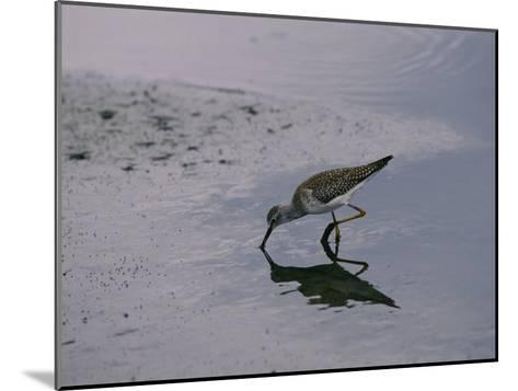 A Sandpiper Skims the Water for a Meal in the Meadowlands-Melissa Farlow-Mounted Photographic Print