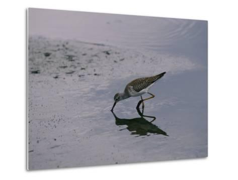 A Sandpiper Skims the Water for a Meal in the Meadowlands-Melissa Farlow-Metal Print