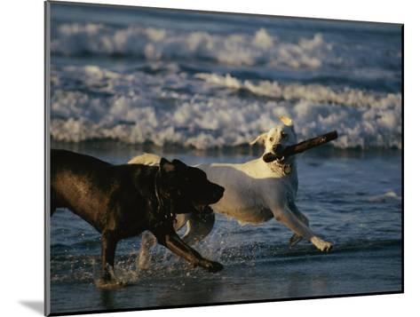 Two Labrador Retrievers Play with a Stick on a Beach-Roy Toft-Mounted Photographic Print