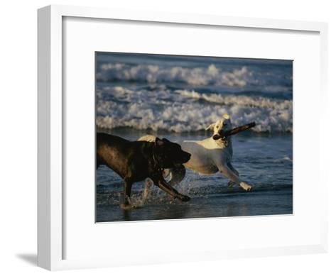 Two Labrador Retrievers Play with a Stick on a Beach-Roy Toft-Framed Art Print