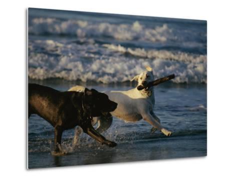 Two Labrador Retrievers Play with a Stick on a Beach-Roy Toft-Metal Print