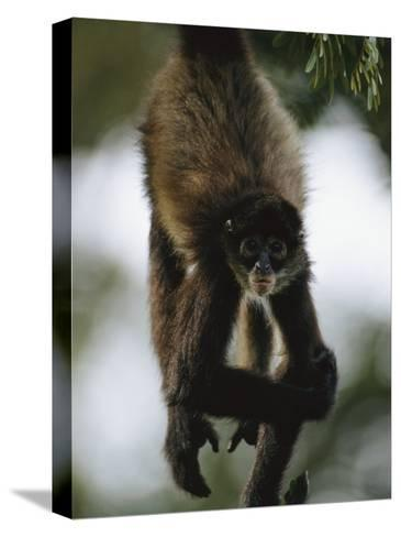 A Spider Monkey Hangs from a Tree Branch-Roy Toft-Stretched Canvas Print
