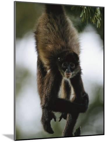 A Spider Monkey Hangs from a Tree Branch-Roy Toft-Mounted Photographic Print