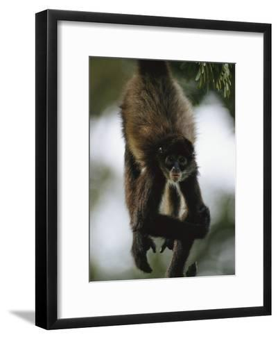 A Spider Monkey Hangs from a Tree Branch-Roy Toft-Framed Art Print