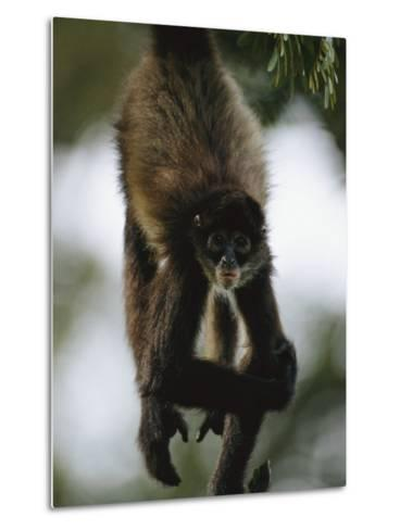 A Spider Monkey Hangs from a Tree Branch-Roy Toft-Metal Print
