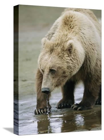 An Alaskan Brown Bear Walks Through Shallow Water-Roy Toft-Stretched Canvas Print