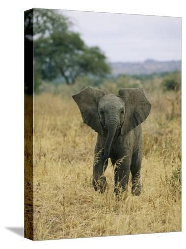 A Juvenile African Elephant Takes a Walk-Roy Toft-Stretched Canvas Print