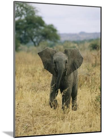 A Juvenile African Elephant Takes a Walk-Roy Toft-Mounted Photographic Print