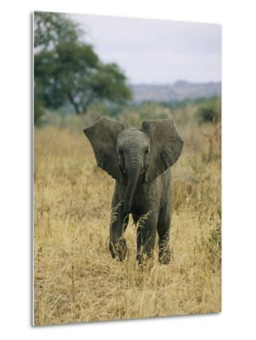 A Juvenile African Elephant Takes a Walk-Roy Toft-Metal Print