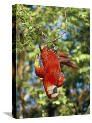 A Scarlet Macaw Hangs Upside-Down from a Branch-Roy Toft-Stretched Canvas Print