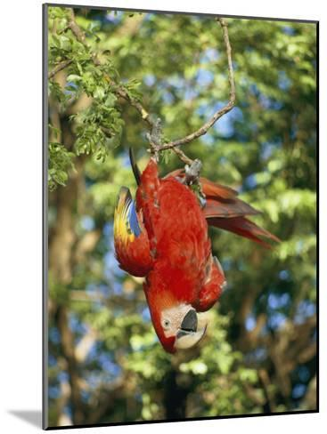A Scarlet Macaw Hangs Upside-Down from a Branch-Roy Toft-Mounted Photographic Print