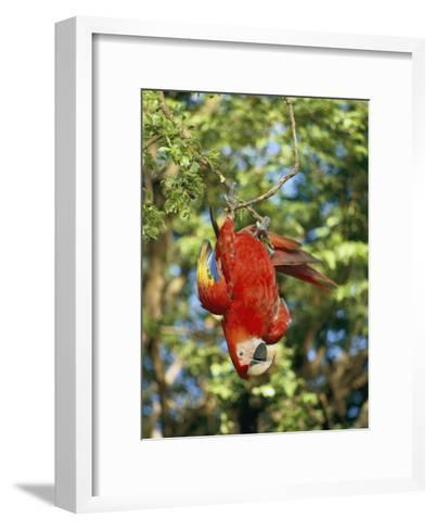 A Scarlet Macaw Hangs Upside-Down from a Branch-Roy Toft-Framed Art Print