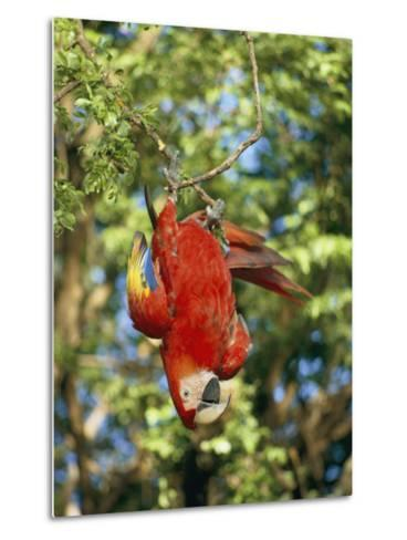 A Scarlet Macaw Hangs Upside-Down from a Branch-Roy Toft-Metal Print