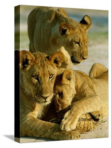 Young Lions Investigate a Leopard Tortoise-Beverly Joubert-Stretched Canvas Print