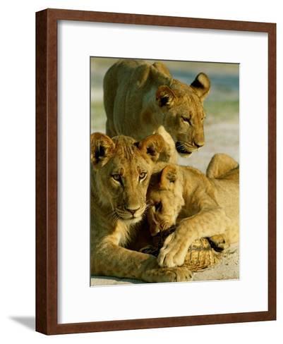 Young Lions Investigate a Leopard Tortoise-Beverly Joubert-Framed Art Print