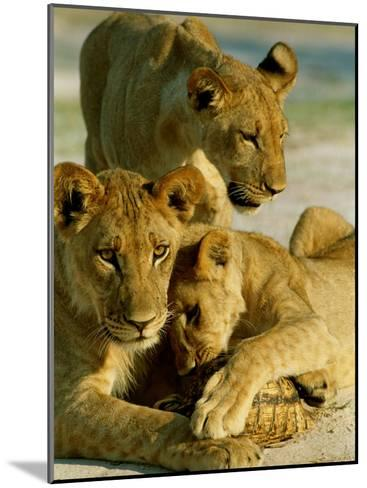Young Lions Investigate a Leopard Tortoise-Beverly Joubert-Mounted Photographic Print