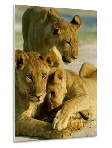 Young Lions Investigate a Leopard Tortoise-Beverly Joubert-Metal Print