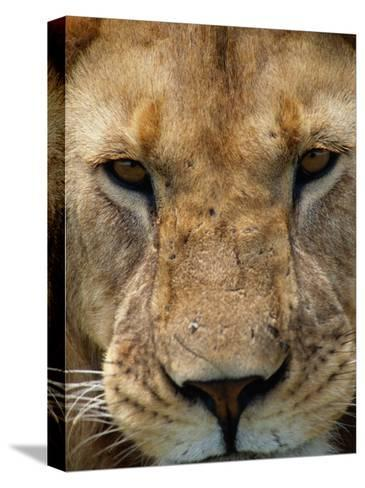 Close View of a Male Lion (Panthera Leo)-Beverly Joubert-Stretched Canvas Print