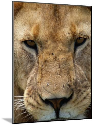 Close View of a Male Lion (Panthera Leo)-Beverly Joubert-Mounted Photographic Print