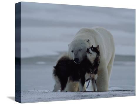 A Polar Bear (Ursus Maritimus) and a Husky Cuddle up to Each Other in the Snow-Norbert Rosing-Stretched Canvas Print