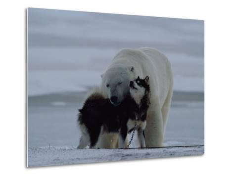 A Polar Bear (Ursus Maritimus) and a Husky Cuddle up to Each Other in the Snow-Norbert Rosing-Metal Print