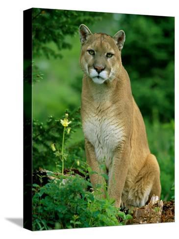 A Close View of a Captive Male Mountain Lion (Felis Concolor)-Norbert Rosing-Stretched Canvas Print