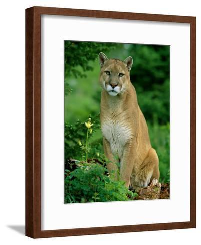 A Close View of a Captive Male Mountain Lion (Felis Concolor)-Norbert Rosing-Framed Art Print