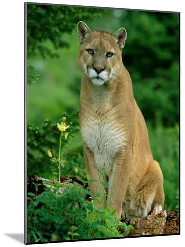 A Close View of a Captive Male Mountain Lion (Felis Concolor)-Norbert Rosing-Mounted Photographic Print