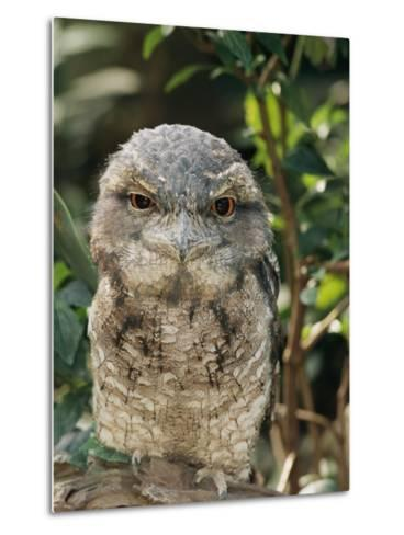 Tawny Frogmouth Bird-George Grall-Metal Print