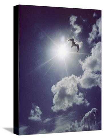 Gulls Silhouetted against the Sun-Emory Kristof-Stretched Canvas Print