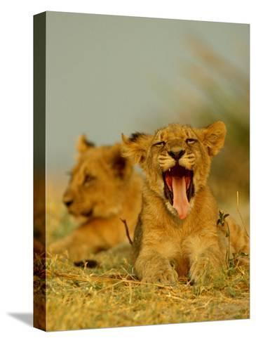 An African Lion Cub Yawns While Resting-Beverly Joubert-Stretched Canvas Print
