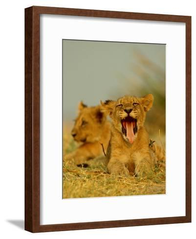 An African Lion Cub Yawns While Resting-Beverly Joubert-Framed Art Print