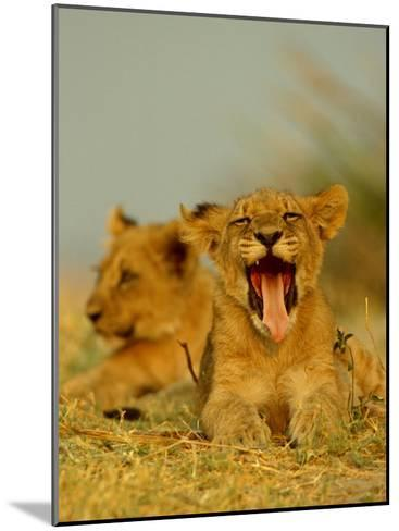 An African Lion Cub Yawns While Resting-Beverly Joubert-Mounted Photographic Print