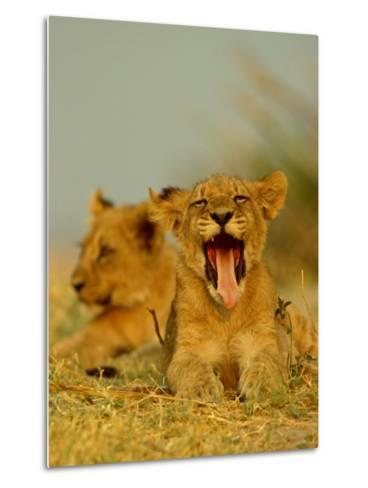 An African Lion Cub Yawns While Resting-Beverly Joubert-Metal Print