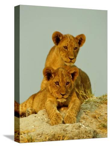 Two Lion Cubs Watch the Action from the Sidelines-Beverly Joubert-Stretched Canvas Print