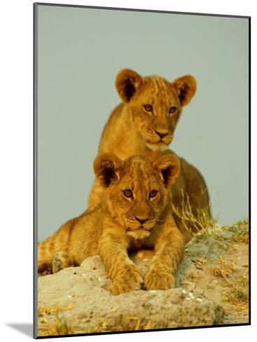 Two Lion Cubs Watch the Action from the Sidelines-Beverly Joubert-Mounted Photographic Print