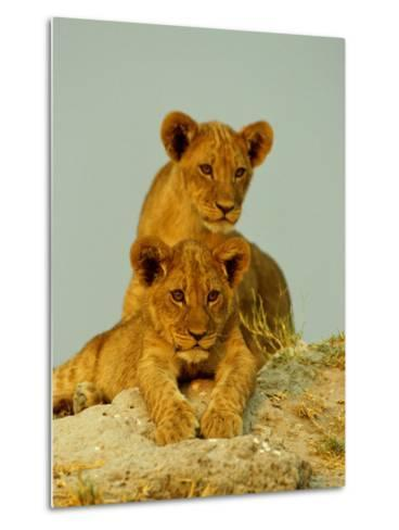 Two Lion Cubs Watch the Action from the Sidelines-Beverly Joubert-Metal Print