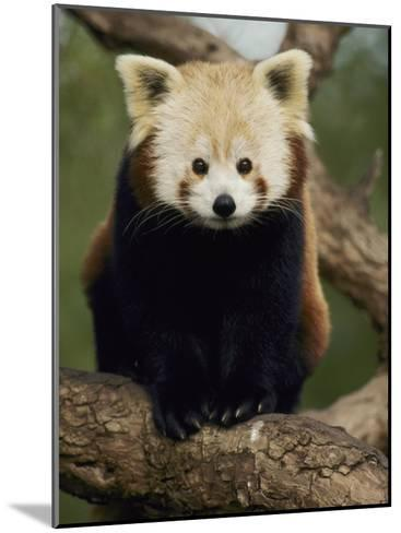 A Nepalese Red Panda Sits on a Tree Branch-Jason Edwards-Mounted Photographic Print
