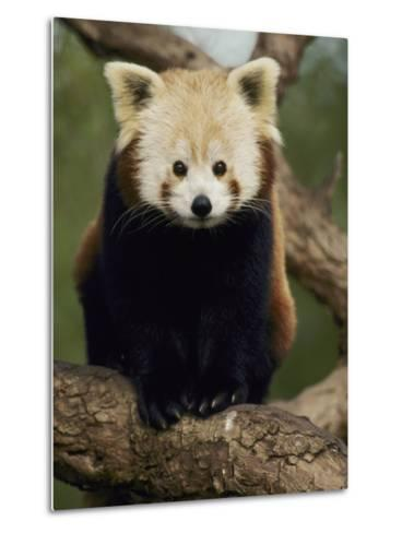 A Nepalese Red Panda Sits on a Tree Branch-Jason Edwards-Metal Print