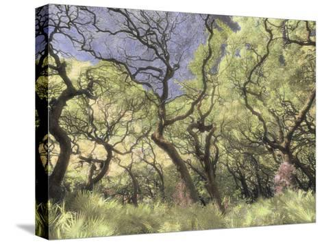 Oak Trees Stretch Gnarled Branches Skyward-Annie Griffiths Belt-Stretched Canvas Print