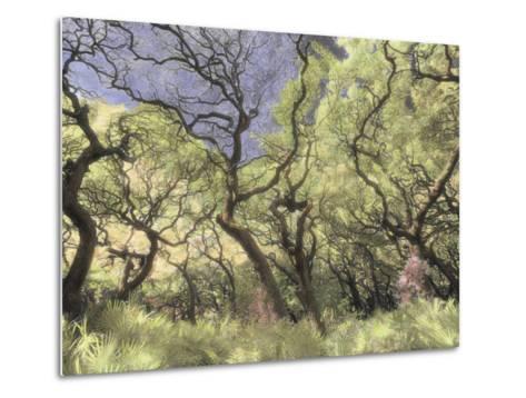 Oak Trees Stretch Gnarled Branches Skyward-Annie Griffiths Belt-Metal Print