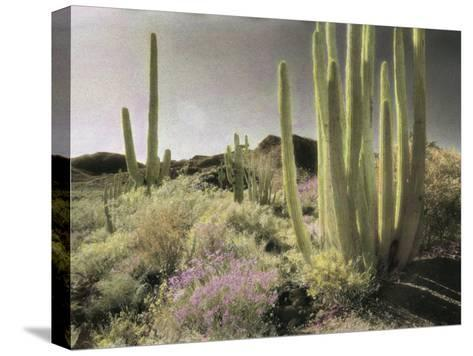 Wildflowers Bloom Among Cactus in a Desert Landscape-Annie Griffiths Belt-Stretched Canvas Print
