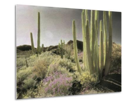 Wildflowers Bloom Among Cactus in a Desert Landscape-Annie Griffiths Belt-Metal Print