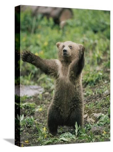 A Grizzly Bear Cub Stands with Arms Outstretched-Tom Murphy-Stretched Canvas Print