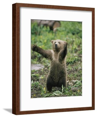 A Grizzly Bear Cub Stands with Arms Outstretched-Tom Murphy-Framed Art Print