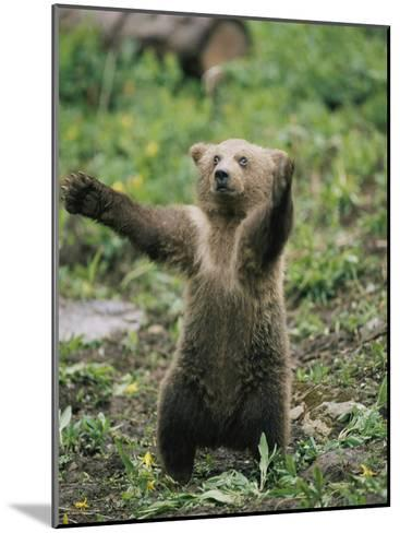 A Grizzly Bear Cub Stands with Arms Outstretched-Tom Murphy-Mounted Photographic Print