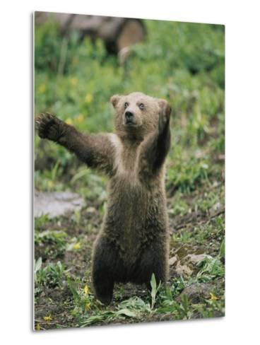 A Grizzly Bear Cub Stands with Arms Outstretched-Tom Murphy-Metal Print