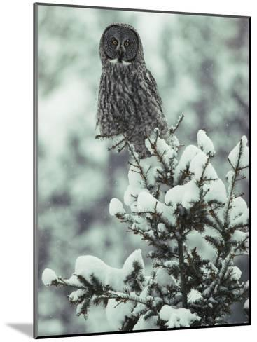 A Great Gray Owl Perches on a Snow-Covered Tree-Tom Murphy-Mounted Photographic Print
