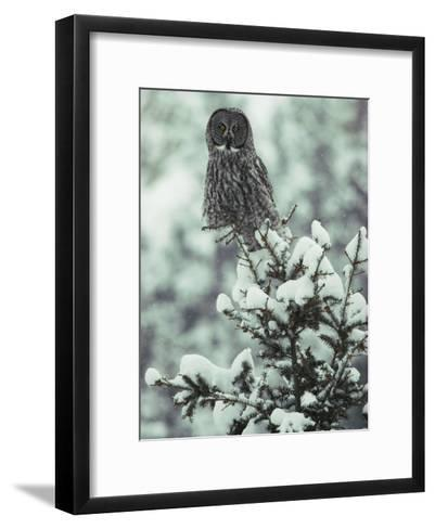 A Great Gray Owl Perches on a Snow-Covered Tree-Tom Murphy-Framed Art Print